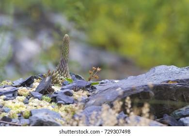 Sempervivum on a rock