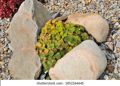 Sempervivum Pumilum - decorative houseleek,  dwarf succulent plant in rock garden among stones. Ornamental perennial plant uses in landscape design of rock garden, rockery or alpine slide