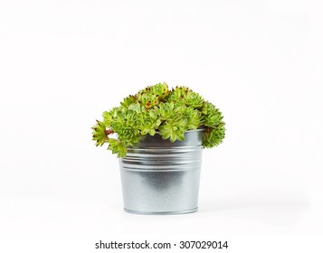 sempervivum succulent plant in metal pot on white background with shadow
