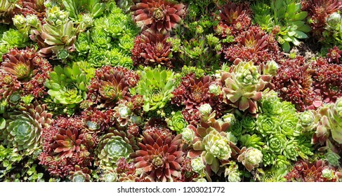 Sempervivum, tectorum, flower