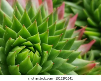 Sempervivum tectorum,Common Houseleek, - perennial plant growing in flower pot. Sempervivum in nature