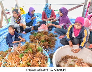 SEMPORNA, Malaysia - JANUARY 2, 2019 : The villagers are seen processing seaweeds for cultivation in Seaweed Agro Tourism project at Pulau Ligit-Ligitan, Semporna, Sabah.