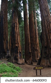 The Senate grove of Giant Sequoias in Sequoia National Park in California.