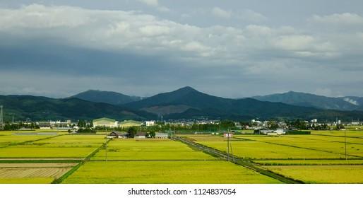 Sendai, Japan - Oct 6, 2016: Rice field at harvesting season in Sendai, Japan.