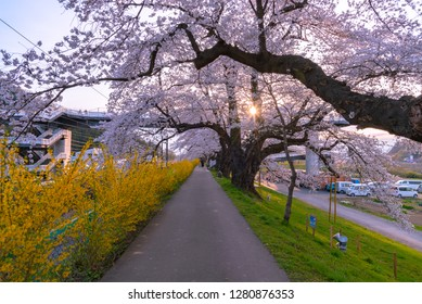 Sendai, Miyagi, Japan - April 5, 2018: Narcissus field pathway with the Cherry Blossom tree background along Shiroishi river banks in Funaoka Castle Ruin Park, Sendai, Miyagi prefecture, Japan