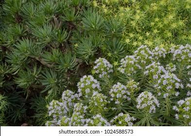 Senecio kleinia (top left), Euphorbia regis-jubae (top right), Echium decaisnei (bottom right). Guayadeque ravine. Aguimes. Gran Canaria. Canary Islands. Spain.
