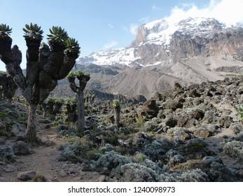 Senecio trees on the Lemosho Route to Mount Kilimanjaro in Tanzania, Africa.