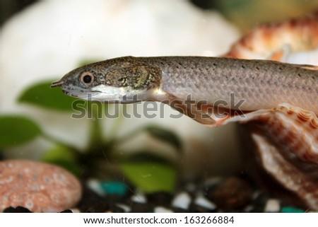 Senegal Bichir Aquarium Fish Stock Photo Edit Now 163266884