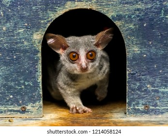 Senegal bushbaby or galago