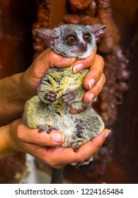 Senegal bushbaby in hand