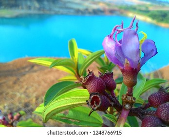 Senggani plant habitat which is a wild flower plant grows on many slopes of mountains, hills, or shrubs. For rural Minang people, this tree is already familiar as a tongue coloring plant. Simply by e