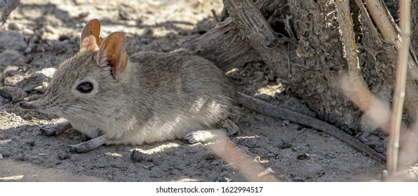 A Sengi / Elephant shrew resting in the shade on a hot day.