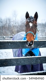 Senior Bay Warmblood Mare looking over fence during snowfall in Kentucky