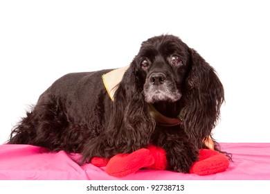 Senior black cocker spaniel dog isolated on white backdrop