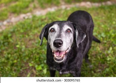 Senior Black Labrador Smiling with Grass Background