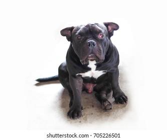 senior black pit bull breed dog with a prolapsed third eyelid or cherry eye disease