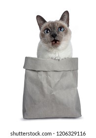 Senior blue point Thai cat sitting in grey bag, looking up with blue wise eyes and toothless mouth open. Isolated on white background.