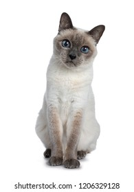Cat With Blue Eyes High Res Stock Images Shutterstock
