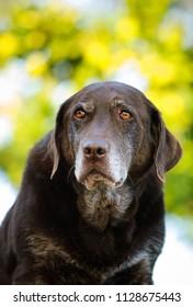 Senior Chocolate Labrador Retriever outdoor portrait
