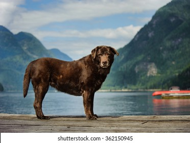 Senior Chocolate Labrador Retriever standing on dock with picturesque mountain inlet view