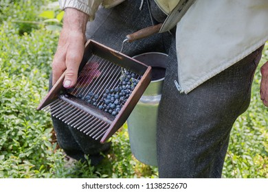 senior collecting blueberries with a harvester comb in the forest