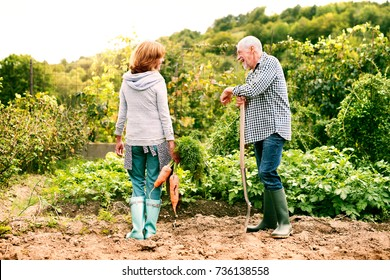 Senior couple gardening in the backyard garden.