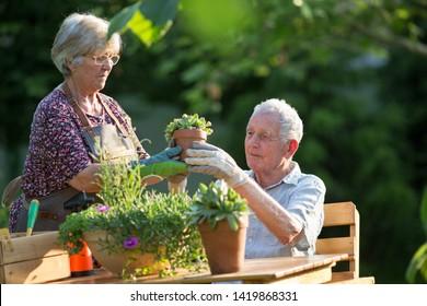Senior couple potting plants in garden in spring time
