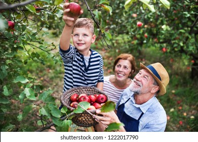 A senior couple with small grandson picking apples in orchard.