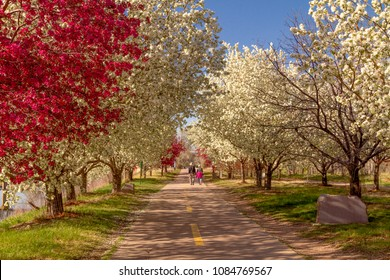 Senior couple walking on an urban hiking path holding hands lined with blooming crab apple trees in late afternoon light