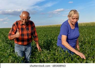Senior couple working in soybean field and examining crop.