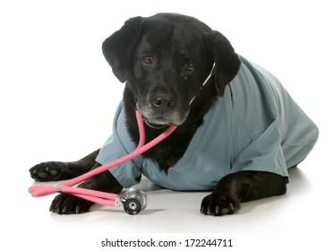 senior dog dressed up like a veterinarian isolated on white background - black labrador retriever