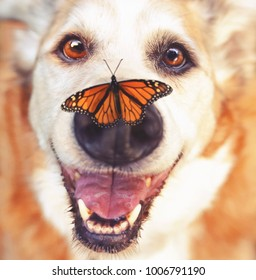 senior dog laying in the grass in a backyard smiling at the camera with a monarch butterfly on his nose toned with a warm retro vintage instagram filter