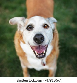 senior dog laying in the grass in a backyard smiling at the camera