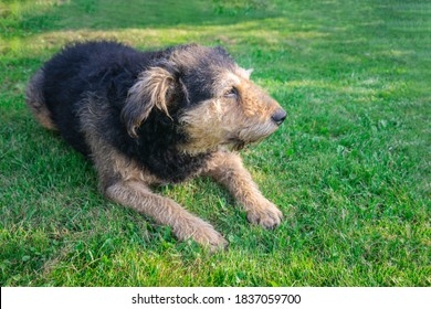 Senior dog lying down on green grass in sunlight. Old dog resting on lawn. Mongrel shaggy dog relaxing on meadow.