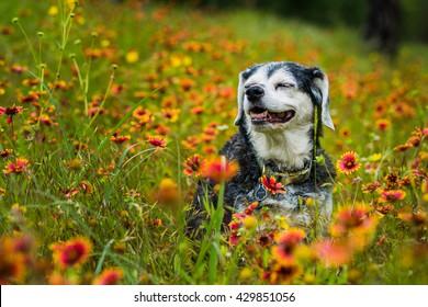 Senior dog sitting in wildflowers