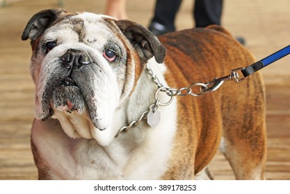 Senior English Bulldog out for a walk