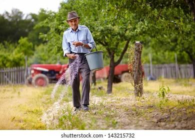 Senior farmer doing seasonal work, spreading fertilizer in a plum trees orchard