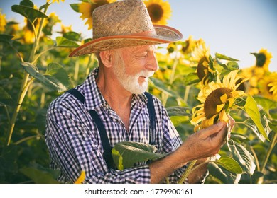 Senior farmer examining and doing the quality control on the sunflower farm
