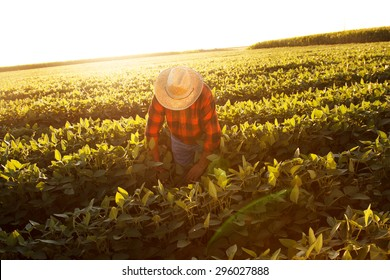 Senior farmer in a field examining crop