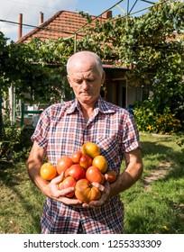 Senior farmer holding freshly harvested tomatoes in the garden