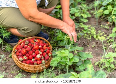 Senior farmer on strawberry farm, harvest of strawberries to the basket, organic farming concept