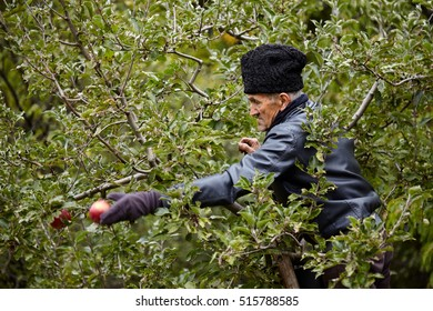 Senior farmer picking red ripe apples in his orchard