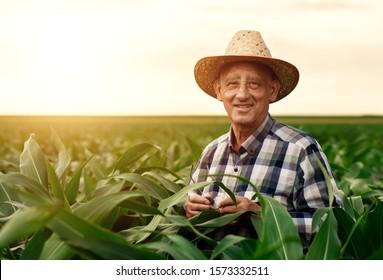 Senior farmer standing in corn field examining crop at sunset.