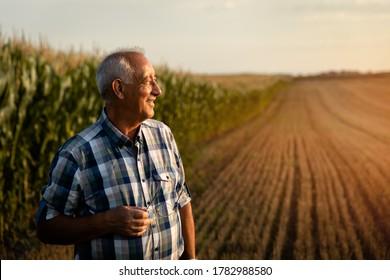 Hoher Bauer, der auf dem Maisfeld steht und bei Sonnenuntergang Ernte untersucht.