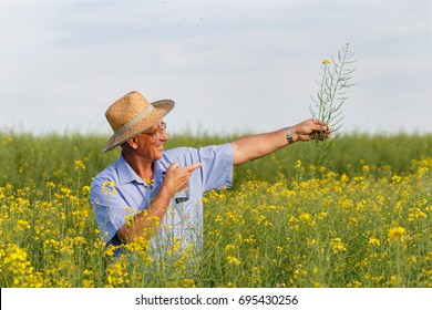 Senior farmer standing in a rapeseed field and examining corp.