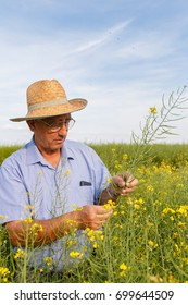 Senior farmer standing in a rapeseed field and examining crop.