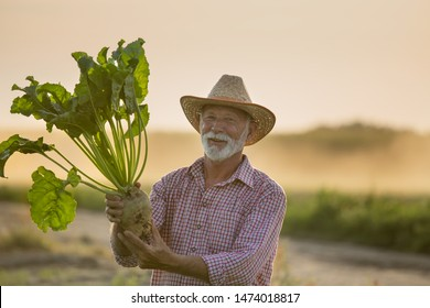 Senior farmer with straw hat holding big ripe sugar beet in field in summer time at sunset