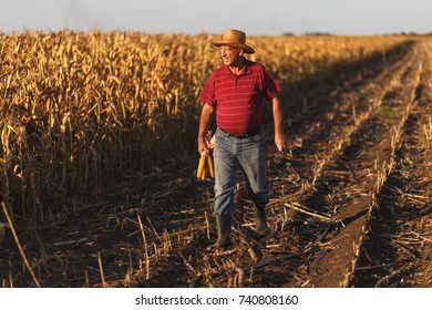 Senior farmer walking in corn field and examining crop before harvesting.