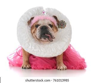 senior female bulldog dressed like a queen on white background