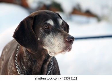 A senior female german shorthaired pointer in the snow